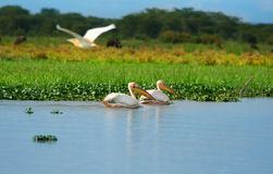 Great white pelicans Stock Image