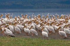 Great white pelicans. At Lake Nakuru, Kenya, East Africa 2011 Stock Image