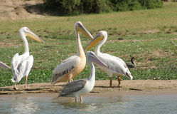 Great White Pelicans in Africa Royalty Free Stock Photos