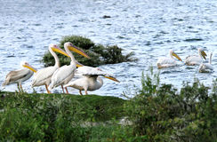 Great white pelicans on the bank of Naivasha Lake Royalty Free Stock Photo