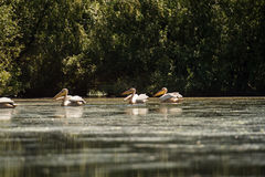 Great white pelicans. Bathing in the sun in Delta Dunarii Royalty Free Stock Photography