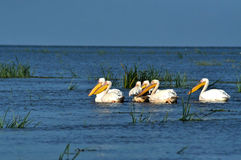 Great white pelicans in the Danube Delta Royalty Free Stock Photography