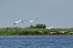 Great white pelicans in the Danube Delta Royalty Free Stock Photo