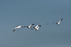 Great white pelicans in the Danube Delta Stock Photos