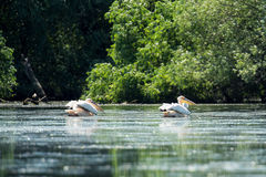 Great white pelicans on Danube Delta Royalty Free Stock Photos
