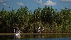 Great white pelicans in Danube delta in Romania. Great white pelicans (Pelecanus onocrotalus) on the Danube delta in Romania stock photo