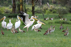 Great white Pelicans with Egyptian goose Royalty Free Stock Images