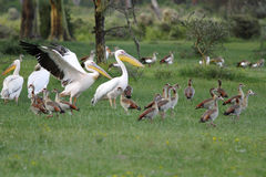 Great white Pelicans and Egyptian goose Stock Photo