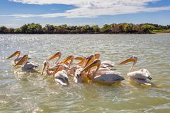 Free Great White Pelicans, Ethiopia, Africa Wildlife Royalty Free Stock Photography - 158918977