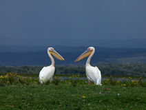 Great White Pelicans facing each other Royalty Free Stock Photos