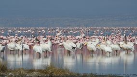 Great white pelicans and flamingos. Colony of flamingos on the natron lake.