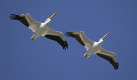 Great White Pelicans in flight Stock Photography