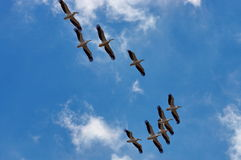 Birds in flight. Great white pelicans - Danube Delta, landmark attraction in Romania Stock Photo