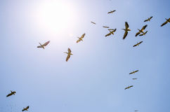 Great white pelicans flying Stock Photo