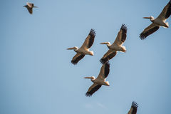 Great white pelicans flying Royalty Free Stock Photos