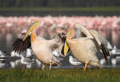 Great white pelicans in front of flamingos Stock Image