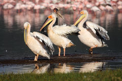 Great white pelicans in front of Nakuru flamingos Royalty Free Stock Photo