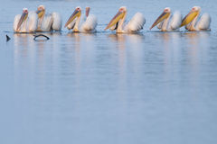 Great White Pelicans Group Royalty Free Stock Images