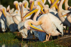 Great white pelicans. Group of Great White Pelicans the shore of Lake Awasa Stock Photos