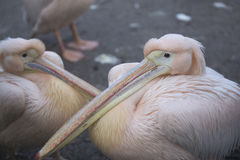 Great white Pelicans. Huddled together Royalty Free Stock Images