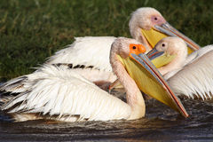 Great white pelicans, Lake Nakuru Stock Photos