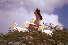 Great white pelicans, Lake Nakuru National Park, Kenya Royalty Free Stock Photos