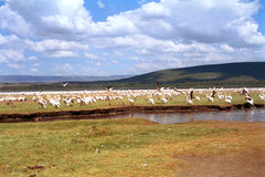 Great white pelicans, Lake Nakuru National Park, Kenya Stock Photos