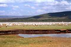 Great white pelicans, Lake Nakuru National Park, Kenya Stock Photo