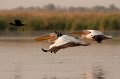 Great White Pelicans in migration season. Great White Pelicans (Pelecanus onocrotalus) on a lake in Danube Delta during migration season, Romania Royalty Free Stock Photo