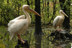 Great white pelicans (Pelecanus onocrotalus). A pair of great white pelicans stock image