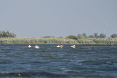 Great White Pelicans pelecanus onocrotalus flying over the Dan stock image