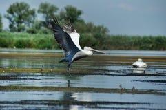 Great white pelicans (Pelecanus onocrotalus) stock photos