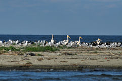 Great white pelicans (Pelecanus onocrotalus) Royalty Free Stock Image