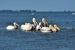 Great white pelicans (Pelecanus onocrotalus) Stock Photography