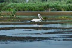 Great white pelicans (Pelecanus onocrotalus) Stock Images