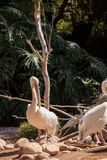 Great white pelicans Pelecanus onocrotalus Royalty Free Stock Photo