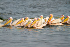 Great white pelicans Royalty Free Stock Photos