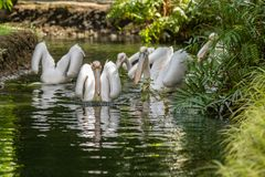 Great white pelicans, Pelecanus onocrotalus, swimming in pond. In Singapore zoo stock photos