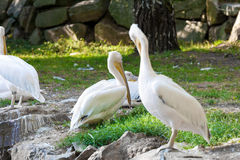 Great white pelicans - Pelecanus onocrotalus Royalty Free Stock Image