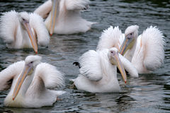 Great White Pelicans Stock Photo