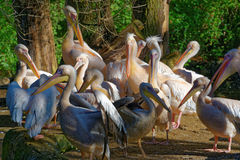 Great White Pelicans Stock Photos