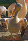 Great White Pelicans Royalty Free Stock Images