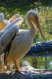 Great White Pelicans Stock Photography