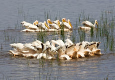 Great White Pelicans (Pellecanus onocrotalus) Stock Images