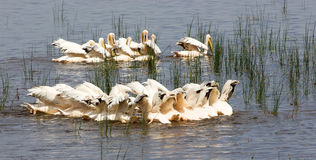 Great White Pelicans (Pellecanus onocrotalus) Royalty Free Stock Images