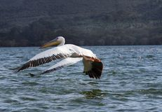 The Great white Pelicans spreading the wings down while taking flight Royalty Free Stock Photo