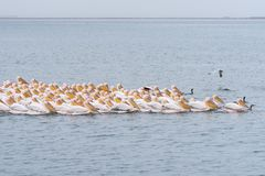 Great white pelicans swimming in formation Stock Photo
