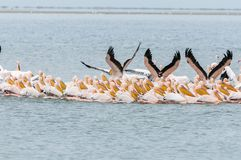 Great white pelicans swimming in formation Royalty Free Stock Photography