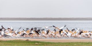 Great white pelicans taking off at the lagoon in Walvis Bay Stock Photography