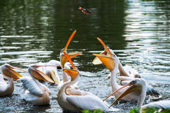 Great White Pelicans in water Royalty Free Stock Image